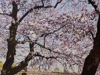 "099  UNDER THE CHERRY BLOSSOMS – WASHINGTON, D.C. ACRYLIC ON CANVAS 26"" X 21"" $7000"